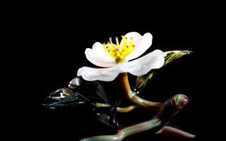 White Cherokee Rose No Base